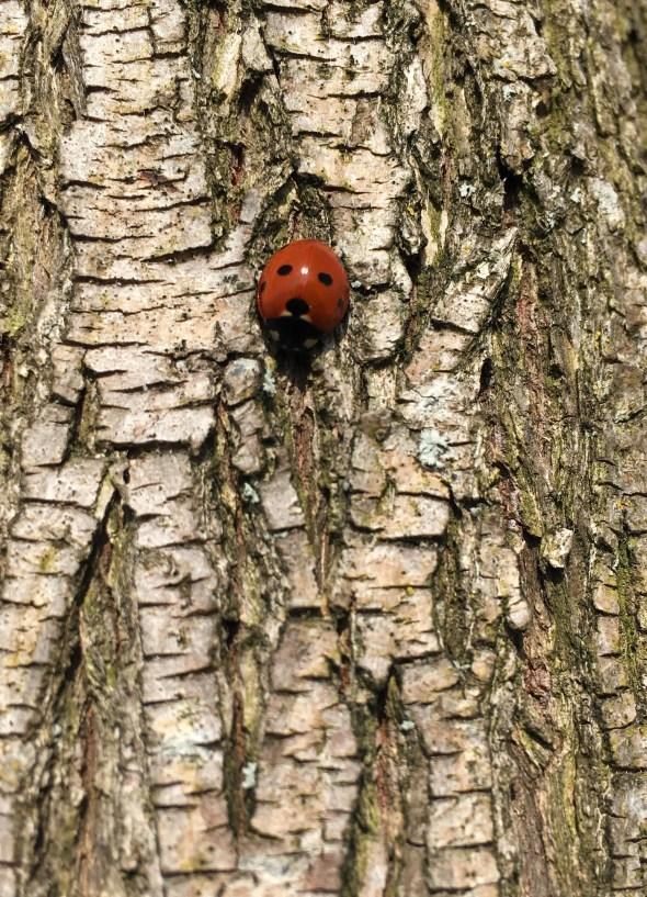 Marienkäfer Baum.JPG